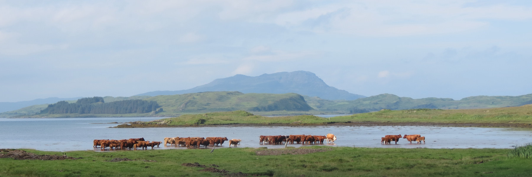 Cows at Ardmaddy